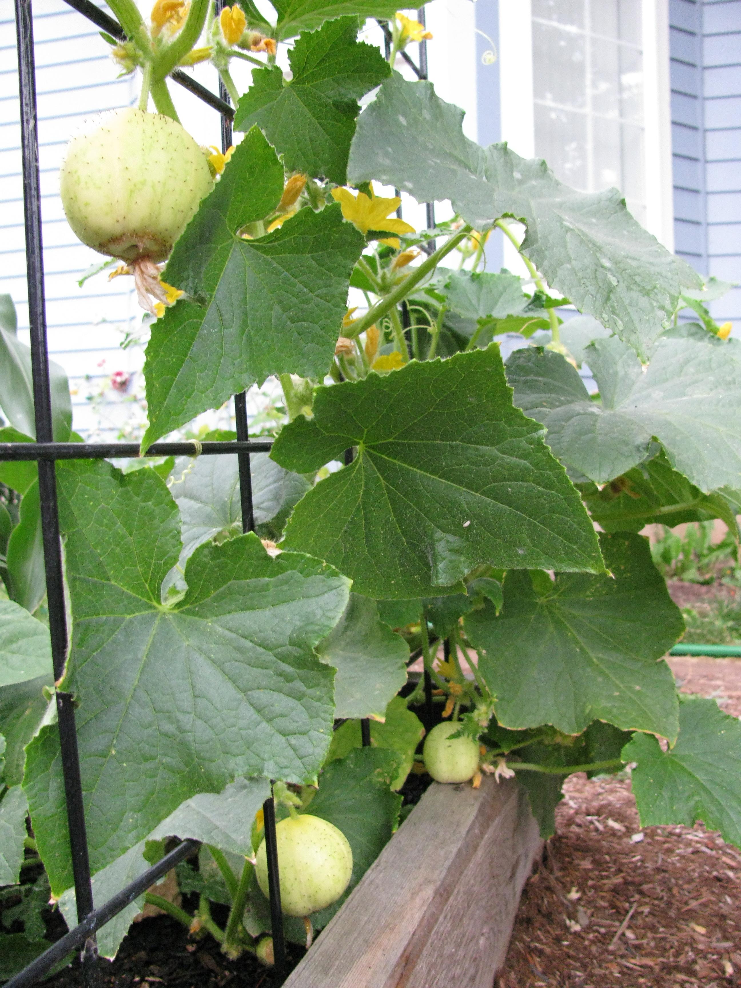 harvest | The Root Cellar's Garden