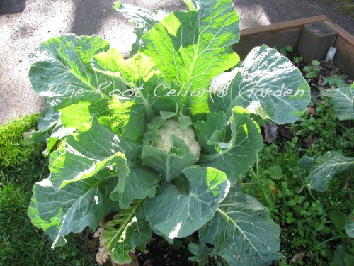 2012/2013 cauliflower