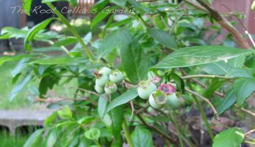 The blueberries are coming along, but the sporadic weather has not been terribly good for early fruit crops.