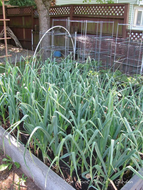 One of the garlic beds. Scapes are very far behind this year. I have been scoping other garlic beds around town and we are all in the same boat. I am hoping they arrive soon as I would like to make some fresh garlic scape pesto!