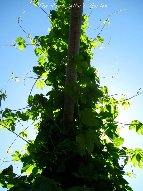 One obligatory hop photo. This is one of our Mount Hood hops. It is prolific this year and probably a month ahead of schedule. This photo makes me Hop Monster!!!