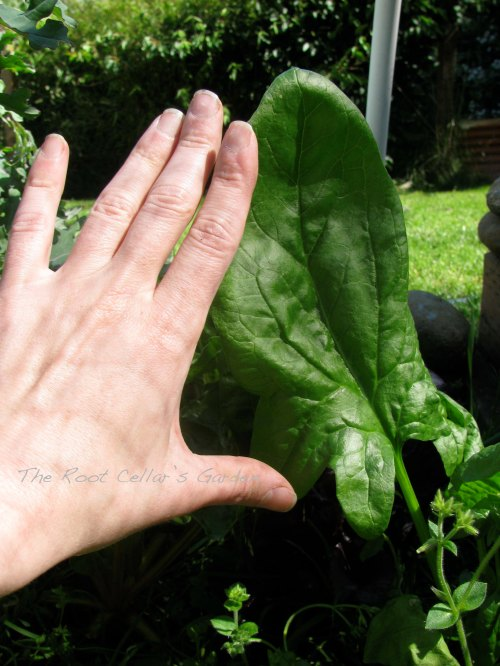 The heirloom spinach I planted this year is awesome and yes, as big as my hand. It has made some excellent wraps and sandwiches for this gluten free girl!