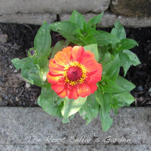 This was my first year growing flowers from seed. This zinnia is the only one that made it, but it has a lot of buds on it!