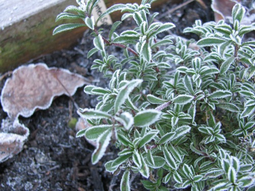 Frosty thyme
